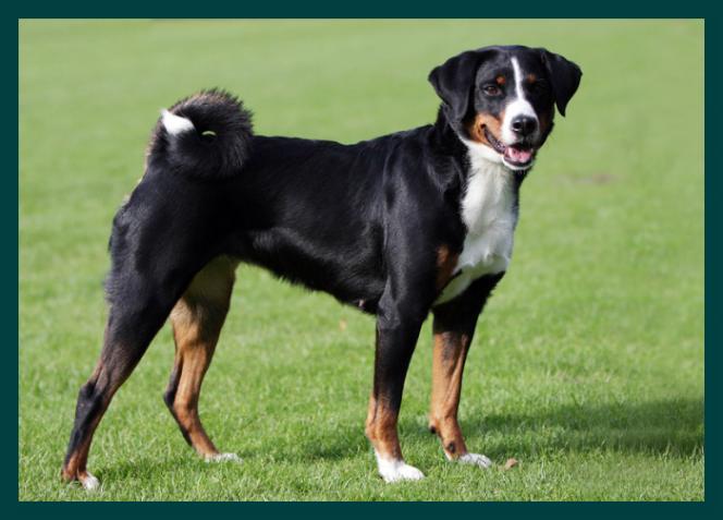 Appenzeller Appenzeller Sennenhunde
