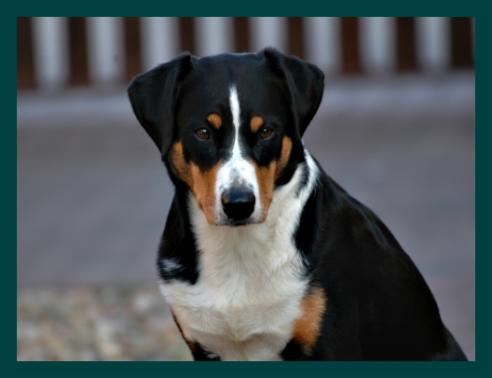 Was Besonderes Appenzeller Sennenhunde