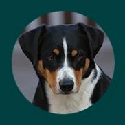 Welpenpreis Appenzeller Sennenhunde